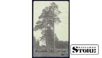 Коллекционная открытка Российской Империи Сосны